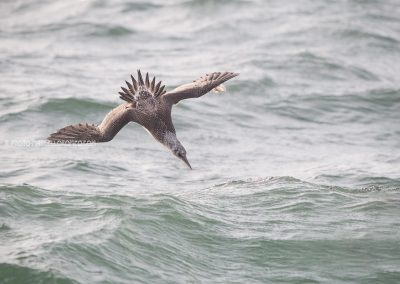 Juvenile Northern Gannet diving