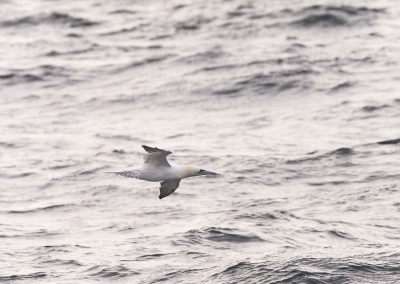 Northern Gannet flying low over the sea