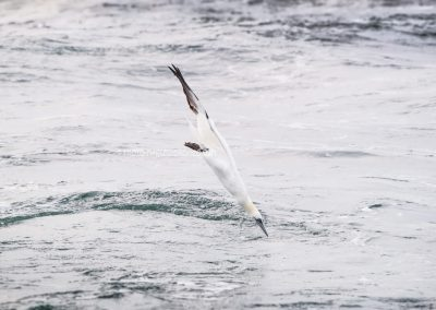 Northern Gannet diving, nearly touches the sea…