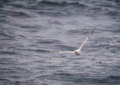 Northern Gannet flying above the sea…