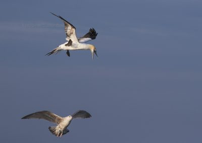 Northern Gannet screams loud to let the gulls disappear before diving to the prey