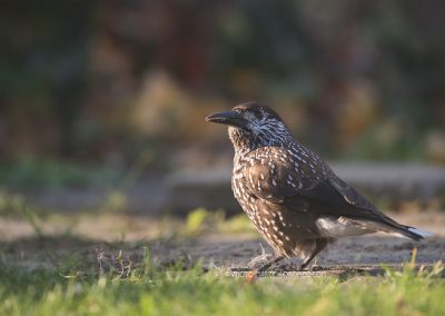 Spotted Nutcracker (Nucifraga Caryocatactes) a wanderer in NL