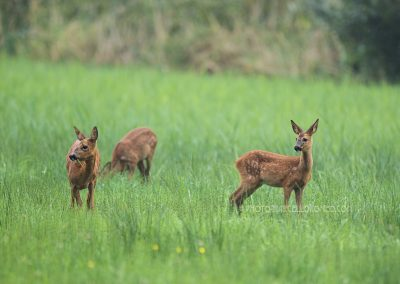 Roe Deer goat foraging with two fawns