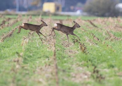 Roe Deer running along the high way