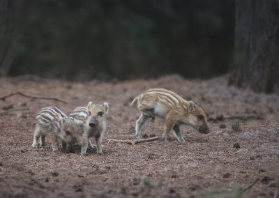 Three Piglets of the Wild Boar coming out the cover at the end of the day