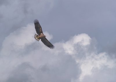 Young White-tailed Eagle in flight