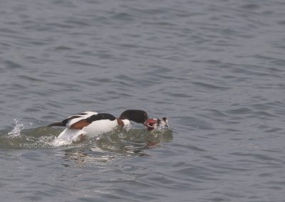 Juvenile Common Shelduck attacked by an adult who tries to kill him