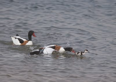 A pair of common shelducks did fight off the parents of this young shelduck and did wantto kill it by drowning him. The little shelduck however was not tired of his life and could escape time after time from his agressive congeners….