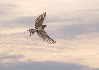 Barn Swallow in flight…