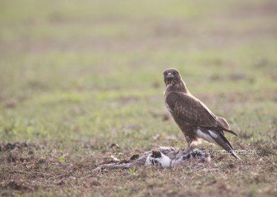 Common Buzzard with a dead cat as prey…