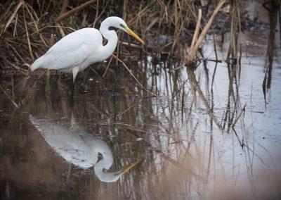 Great White Heron fishing…