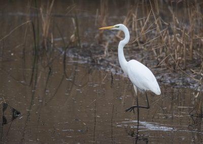 Great Heron walking through low water during foraging