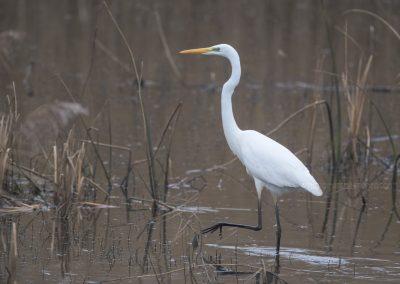 Great Egret walking slowly through low water