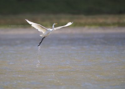 Great White Heron flies up out of a lake