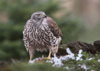 Northern Goshawk looks up during eating from his prey