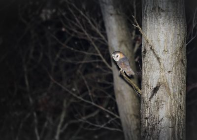 Barn Owl sitting in a tree looking for a prey at night