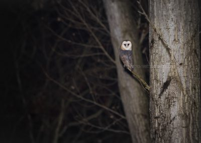 Barn Owl looking for a prey as the night falls…