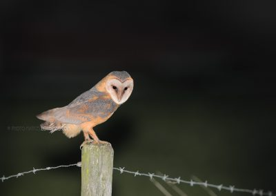 Barn Owl watches a prey standing on a pole at night