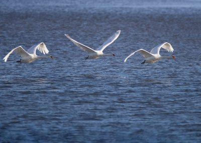 Three Mute Swans do fly up from the water