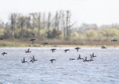 Group of Tufted Ducks in flight