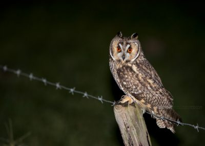 Long-eared Owl sitting on a pole at night looking for a prey…