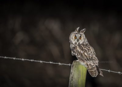 Long-eared Owl watching from a pole at night