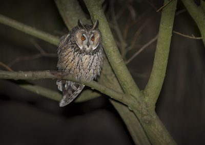 Long-eared Owl gets a prey (a rat) in sight…