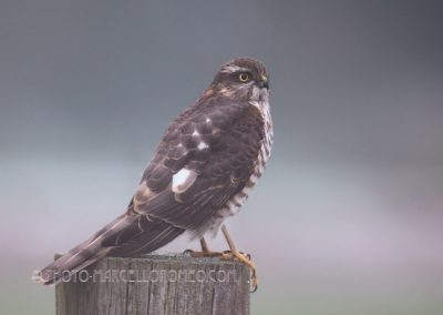 Sparrowhawk looking for a prey at first daylight