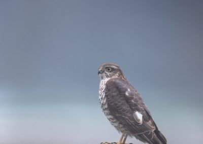 Sparrowhawk on a pole at first daylight