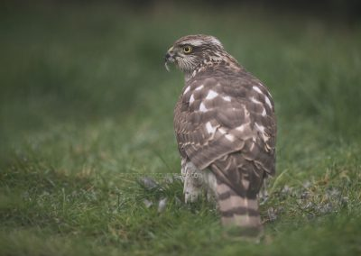 Sparrowhawk looks back while eating from his prey