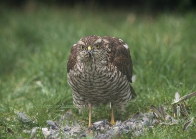 Sparrowhawk enjoying his meal…