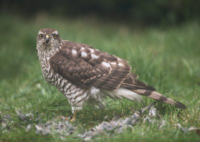 Sparrowhawk looks up from his meal (a just catched house sparrow)