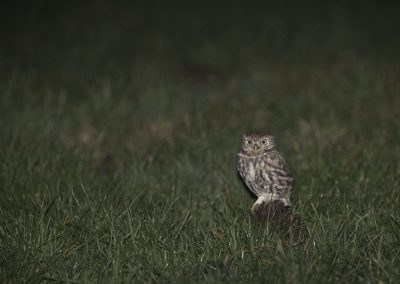 Little Owl went out hunting at night and rests a while in the meadow…