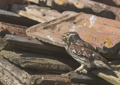 Little Owl brings a fresh grasshopper for the young ones to eat…