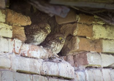 Two young Little Owls waiting for the parents to bring them food…