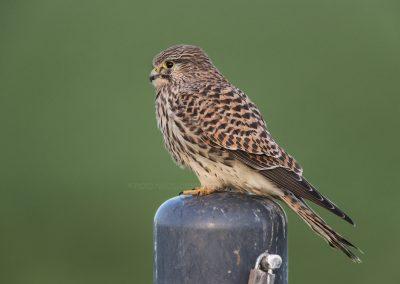 Kestrel resting on a pole