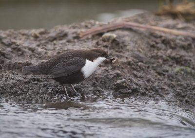 White-throated Dipper with just catched fresh food…