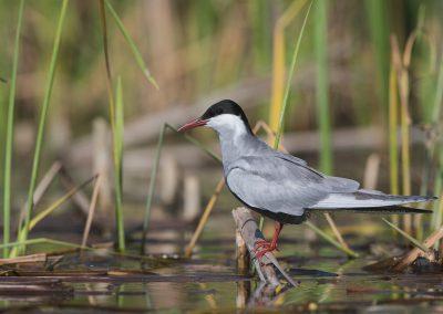 Whiskered Tern resting on a broken reed stem