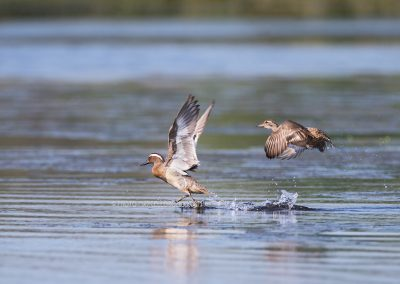 Pair of Garganeys do fly up from the water