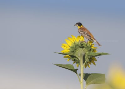 Black-headed Bunting uses a sunflower as a lookout-post