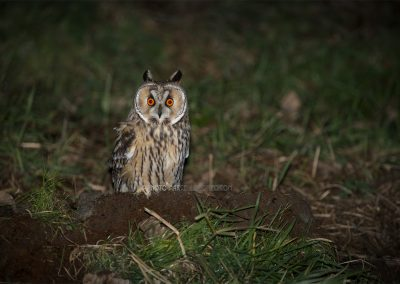 Long-eared Owl sitting on the ground during his hunt for a prey at night