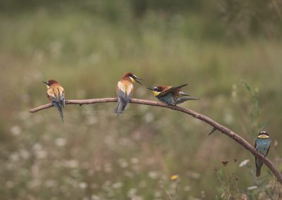 Bee-eaters  resting on a branch, two are bickering