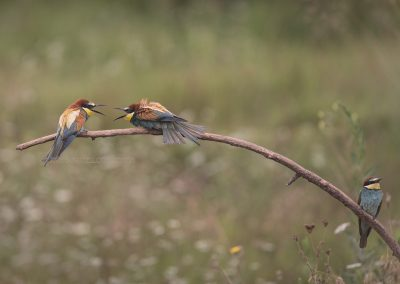 Two Bee-eaters seemed to have a different opinion while another one did not want to interfere….