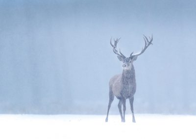 Red Dear Stag in the snow in the last foggy (blue ) daylight