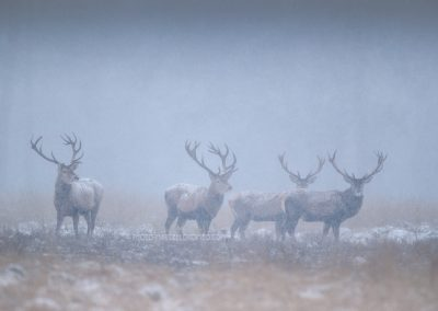 Group of Red Deer Stags are listening when small snow flakes are falling down …