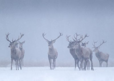 Group of Red Deer Stags running through the snow