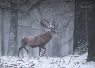 Red Deer Stag walks through the snow…