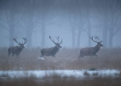 Three Red Deer Stags running through the snowed vegetation