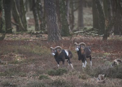 Two male Mouflons walking while two other are resting on the ground