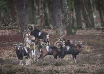 Group of Mouflons listening at the edge of the forest